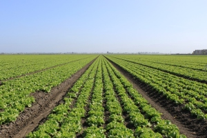 Salinas-Valley-agriculture-May-2012-20